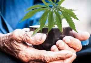 senior citizen marijuana